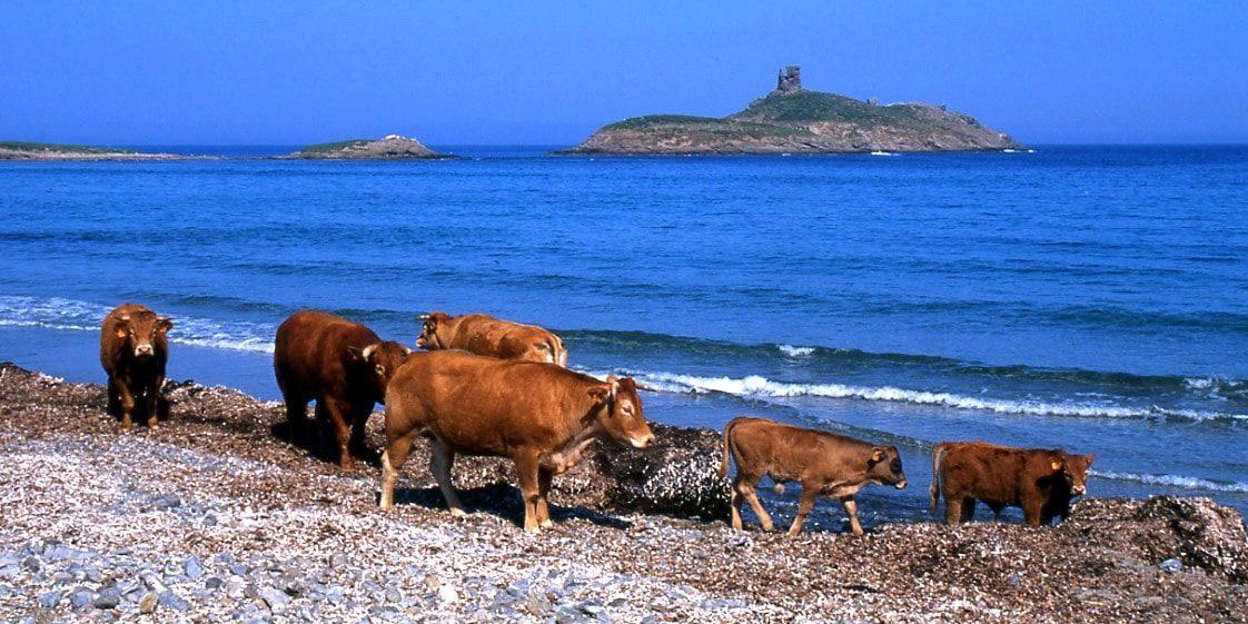 Cap Corse Corsica uiterste puntje Barcaggio Capizollu Giraglia koeien strand zee genuese toren