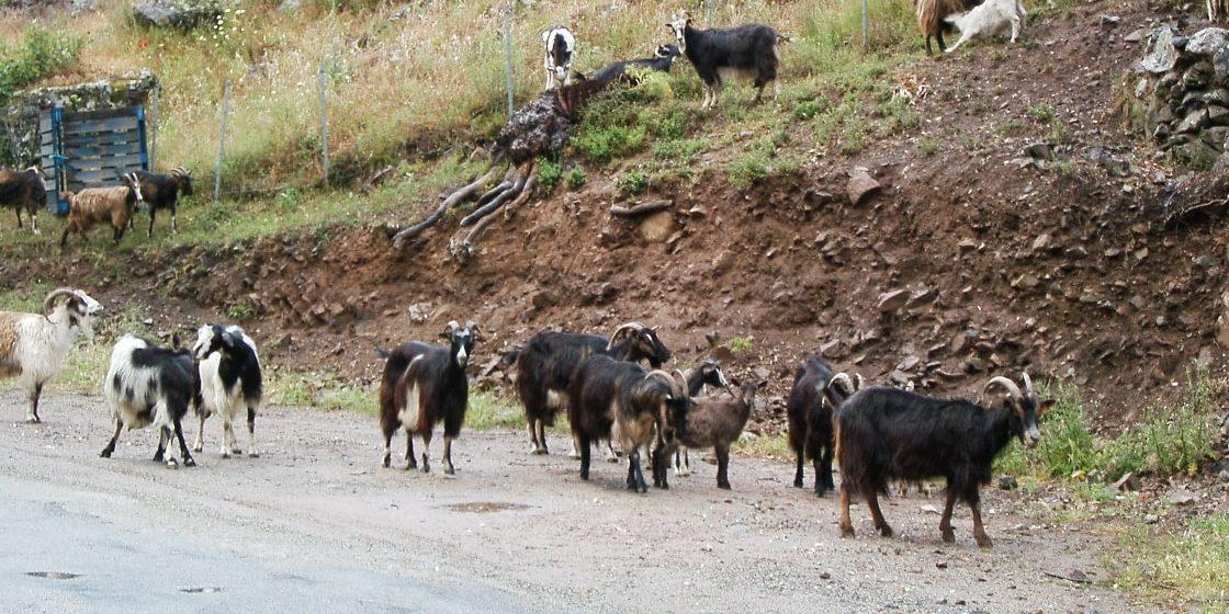 Corsica Frankrijk berggeiten kudde