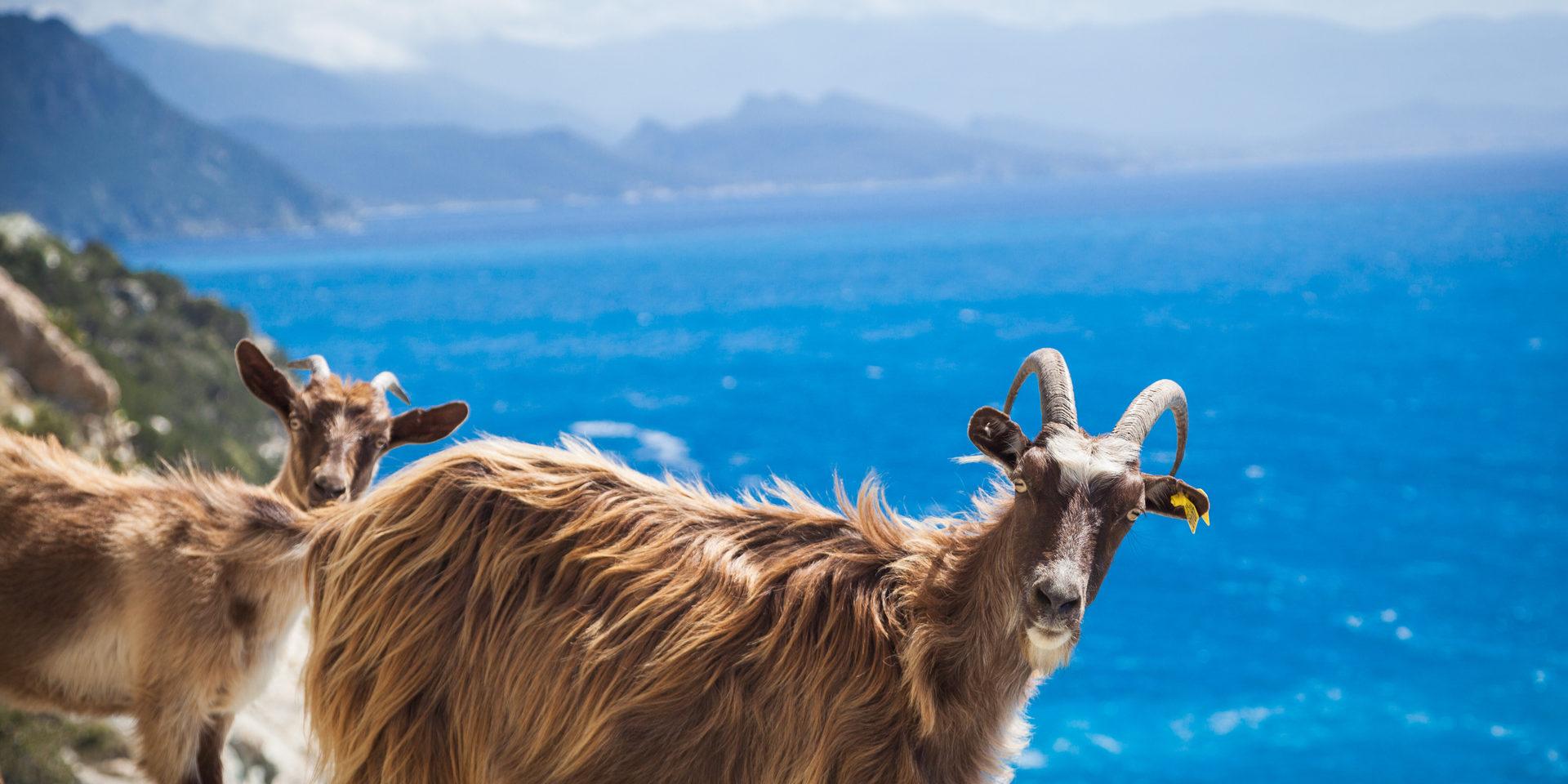 Corsica Frankrijk geiten berggeiten kust rotsen zee